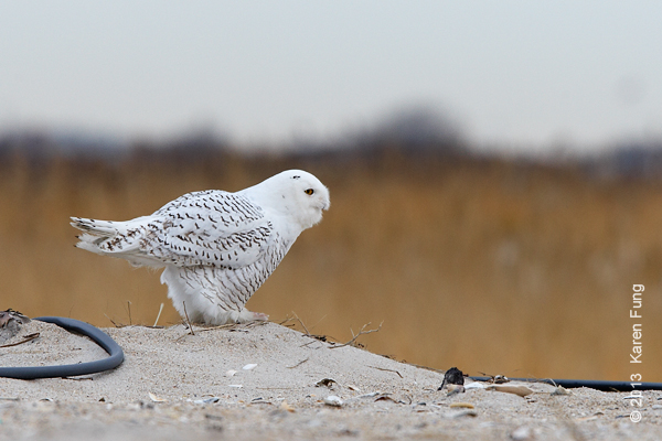 8 Dec:  Snowy Owl, Long Island
