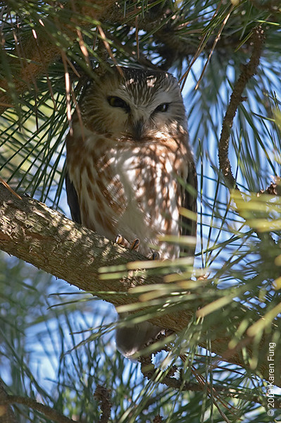 1 Feb:  Northern Saw-whet Owl at Jones Beach