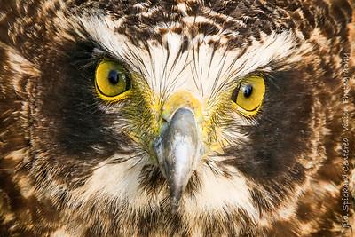 Crested Serpent Eagle (Juvenile)