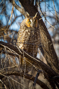 Long-eared owl in Southern Utah. Photo by Lynn Chamberlain, Utah Division of Wildlife Resources.