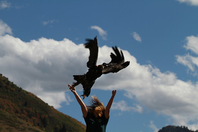 A golden eagle was released by Great Basin Wildlife Rescue during 2013's Raptor Watch Day just east of Orem, UT. Photo taken on 9-21-13 by Scott Root.