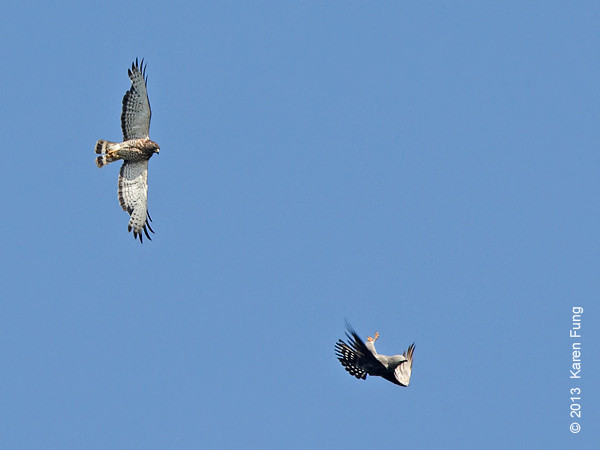 9 June: Broad-winged Hawk and Mississippi Kite on Staten Island