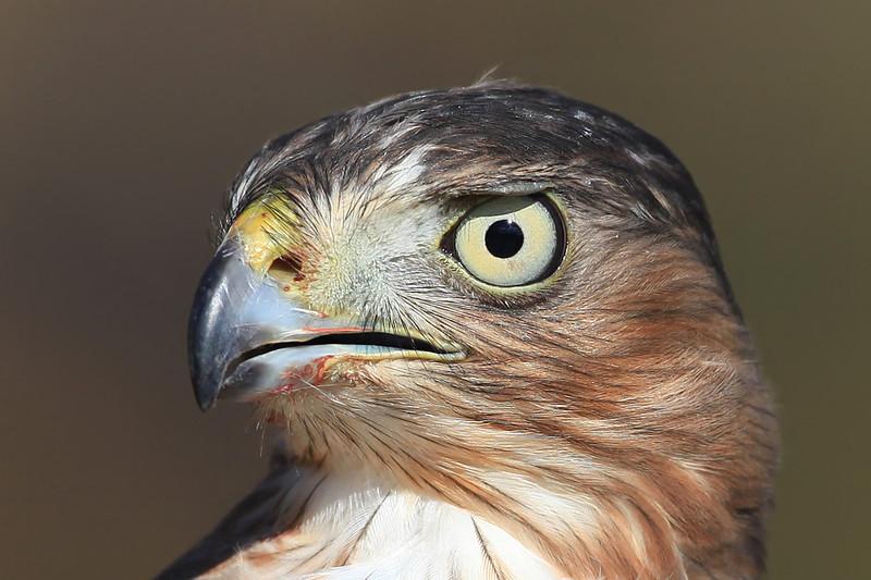 Coopers hawk closeup