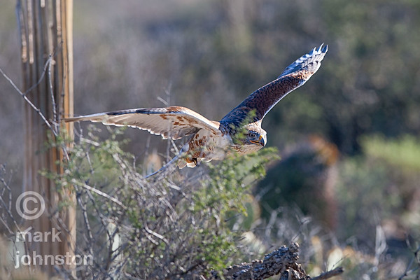Ferruginous Hawk, Buteo regalis in flight