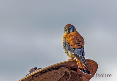Male Kestrel on a Harrow