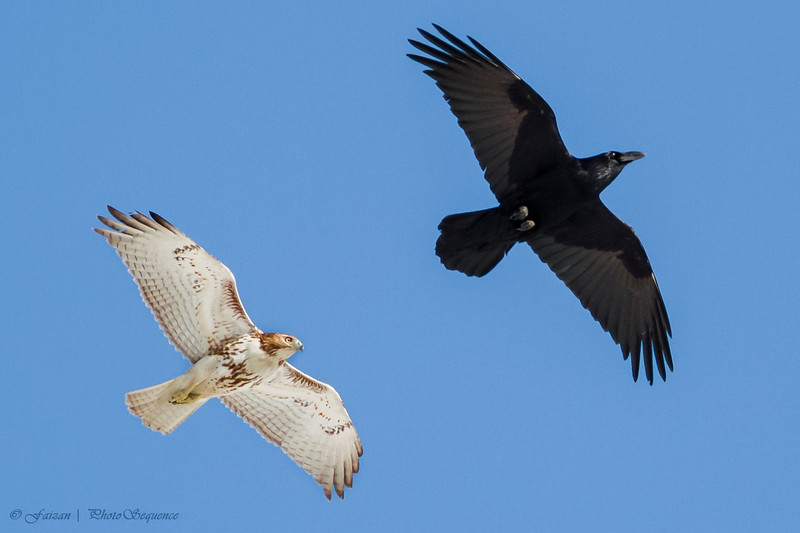 Flight Show: Raven vs Red Tail - At Richard W. DeKorte Park, Meadowlands, NJ