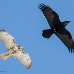Flight Show: Raven vs Red Tail - At Richard W. DeKorte Park, Meadowlands, NJ