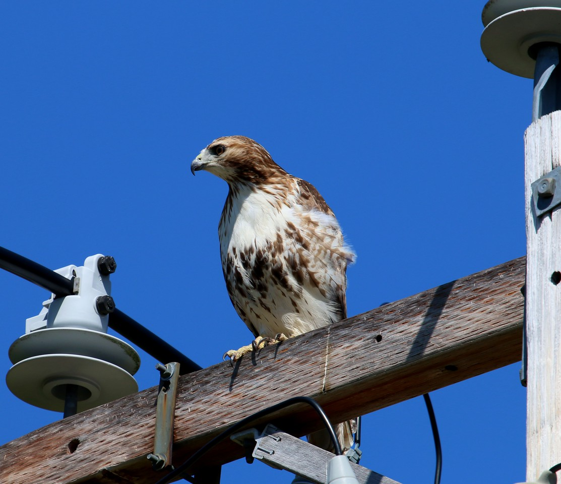 Red Tail Hawk - River Road Madison