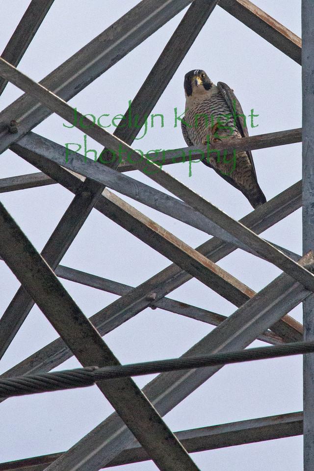 Falcon8230