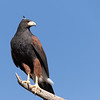 Harris's hawk with unruly feather