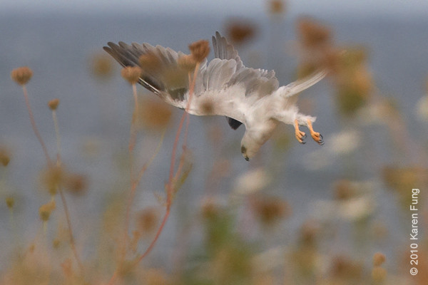 21 August:  White-tailed Kite dive-bombing its prey at Stratford Point.