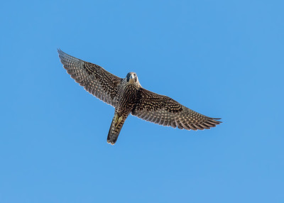 PEREGRINE FALCON, AT YOLO BYPASS WILDLIFE AREA, YOLO CO, CA.