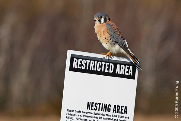 American Kestrel at Floyd Bennett Field, Brooklyn