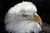 Bald eagle, St Paul MN