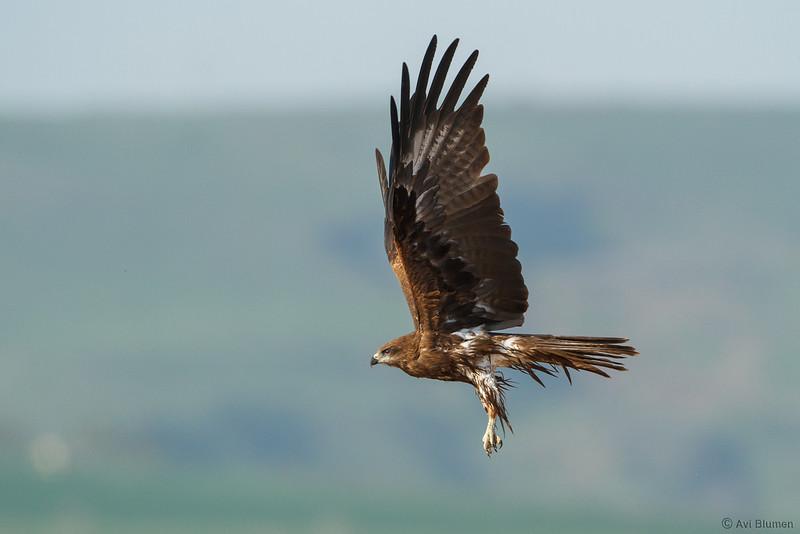 black kite דיה שחורה