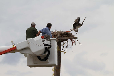 Utah Division of Wildlife Resources employees Bob Walters and Scott Root, along with Spanish Fork City, rescued an osprey tangled in baling wire near Utah Lake. Photo taken July 30, 2013.