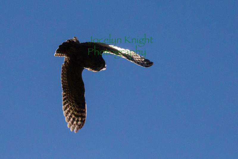 Owl0874