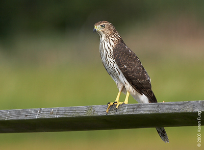 August 24th: Immature Cooper's Hawk at the Marine Nature Study Area in Oceanside, NY