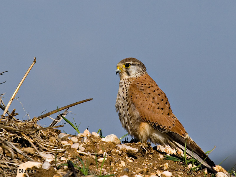 Kestrel - male בז מצוי - זכר