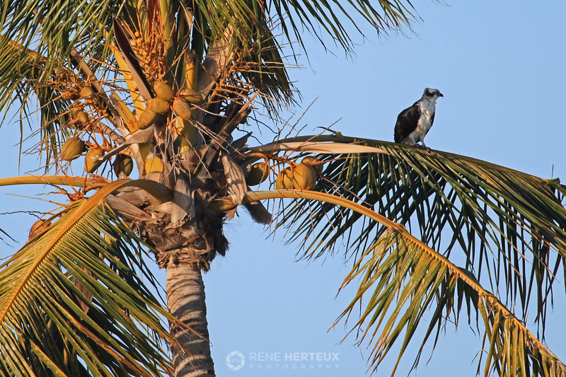 Osprey in palm tree