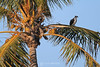 Osprey in palm tree