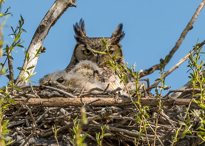 Great horned owl with chicks