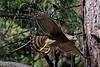 Red-Tail Hawk 1173