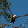 Bald Eagle Launch #2