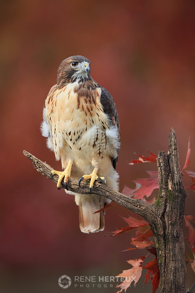 Red tailed hawk posing in fall colors