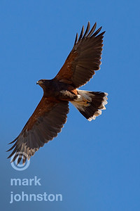 Harris Hawk overhead