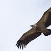 Eurasian vulture נשר