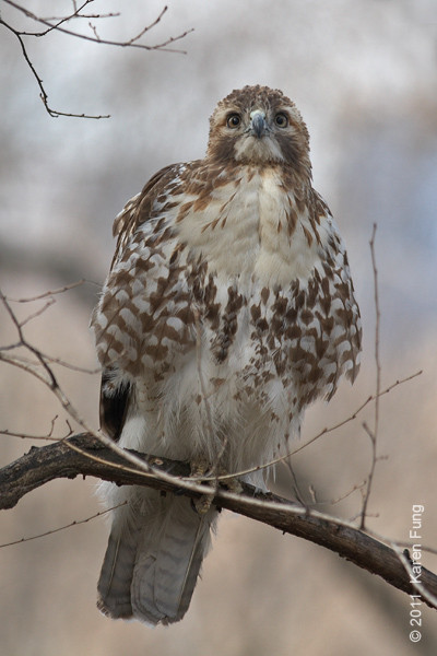 15 March: Red-tailed Hawk in Riverside Park