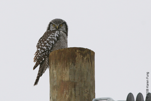 Dec 27th: Northern Hawk Owl in Peru, NY