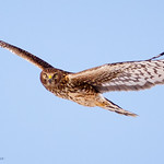 Northern Harrier - At Richard W. DeKorte Park, Meadowlands, NJ