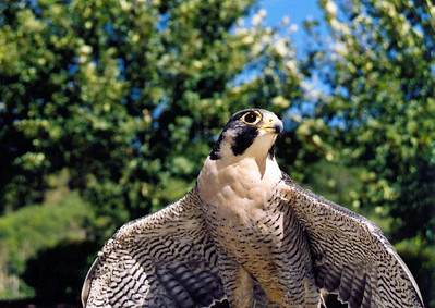 Perched peregrine falcon with wings spread.  Photo by Scott Root, Utah Division of Wildlife Resources