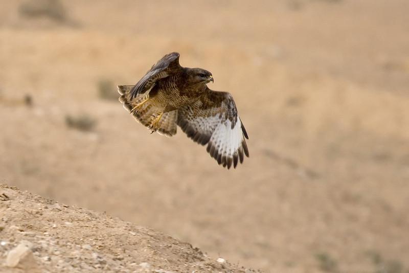 Common (step) buzzard  עקב חורף מזרחי<br /> On spring migration at the Negev desert<br /> צולם בנדידה במרכז הנגב