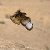 Common (step) buzzard  עקב חורף מזרחי<br /> On spring migration at the Negev desert<br /> צולם בנדידה במרכז הנגב