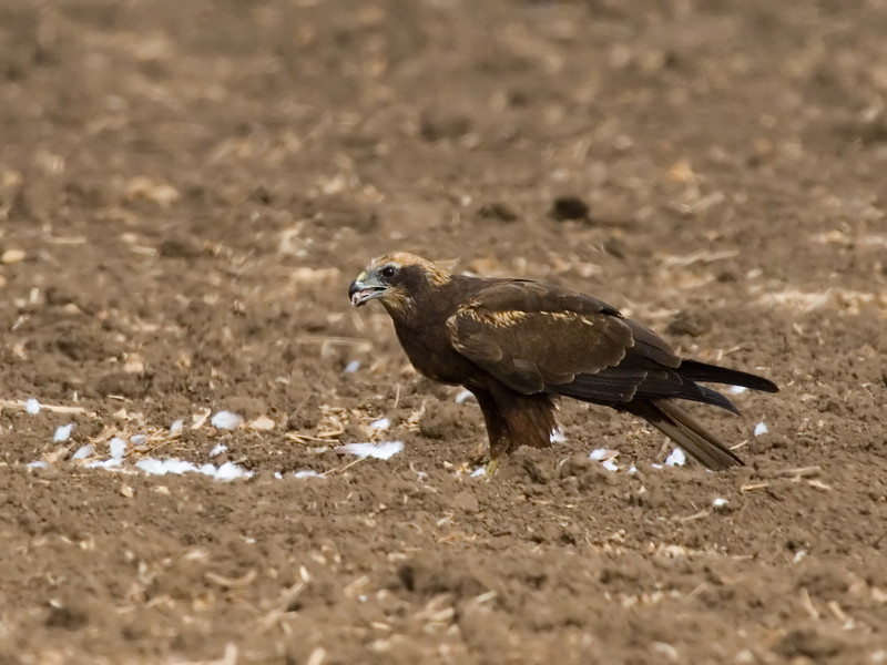 Marsh harrier - female זרון סוף - נקבה