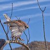 Ferruginous Hawk at Desert Museum
