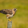 Swainson's Hawk, Grasslands National Park, Saskatchewan
