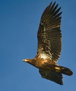 Juvenile Bald Eagle - first year