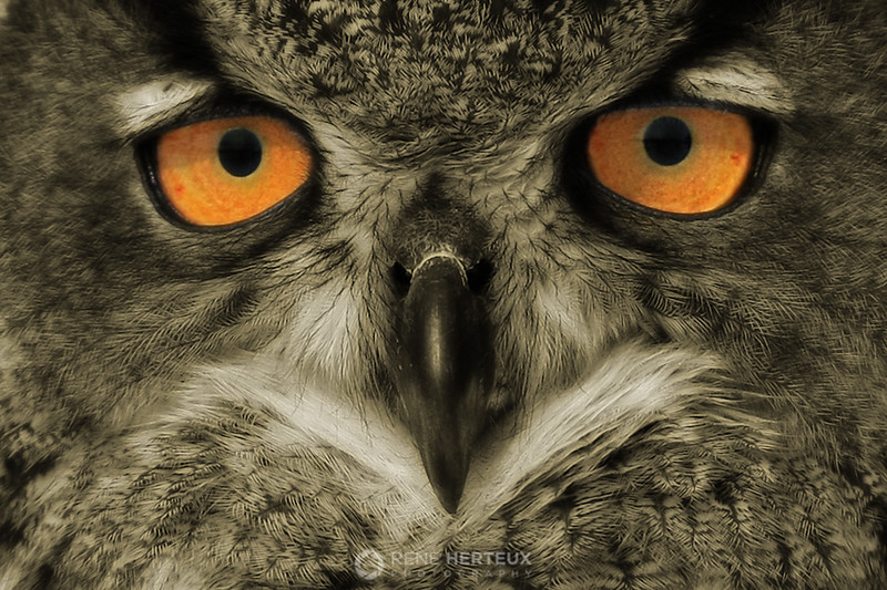 Eagle owl close-up