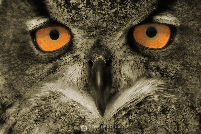 Eagle owl close-up