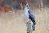 Goshawk on post