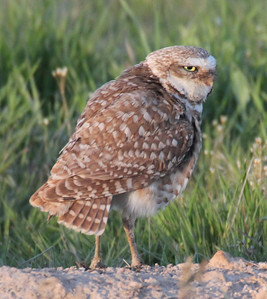 Burrowing owl at Ogden Bay Waterfowl Management Area.  Photo by Phil Douglass