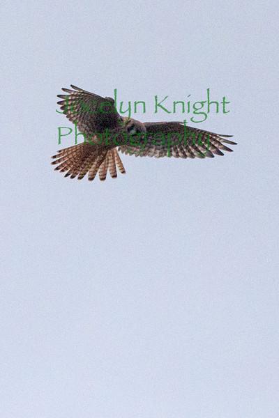 Prairie Hawk5743