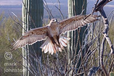 Ferruginous Hawk, Buteo regalis, landing