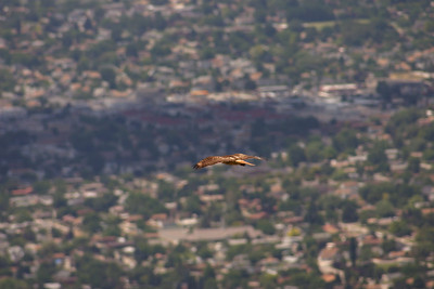 Red-tailed hawk in flight.  Photo by Scott Root, Utah Division of Wildlife Resources