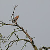 Red-shouldered Hawk calling mate
