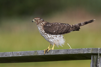 August 24th: Immature Cooper's Hawk caught in the act at the Marine Nature Study Area in Oceanside, NY